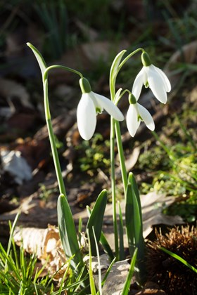 Galanthus Honeysuckle Cottage