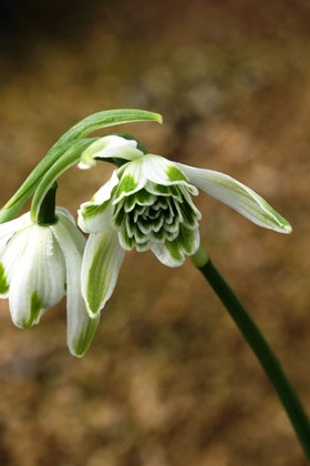 Galanthus Doncaster Double Charmer