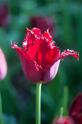 Tulipa Pacific Pearl