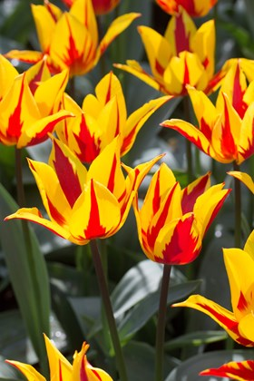 Striped Tulip Collection