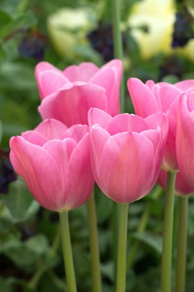 Pale Tulip Collection (4)