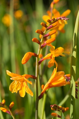 Crocosmia Queen Mary II