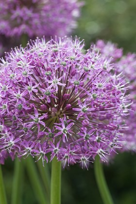 Allium Round 'N' Purple