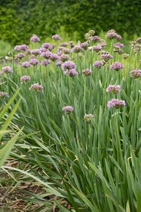 Allium angulosum (tall form)