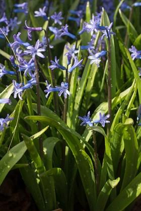 Hyacinthus Blue Roman