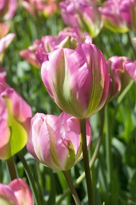 Tulipa Groenland
