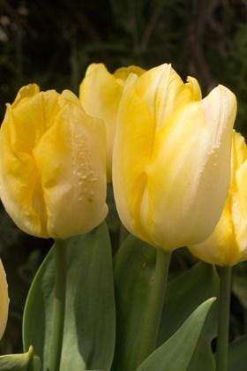 Tulipa Sunny Prince