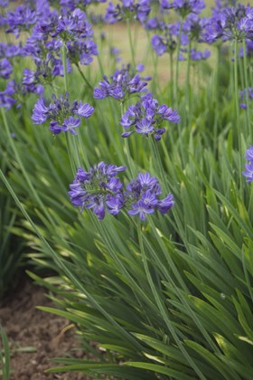 Small Agapanthus Collection