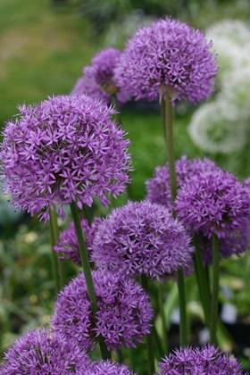 Allium Collection (4)