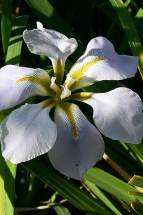 Iris unguicularis Walter Butt