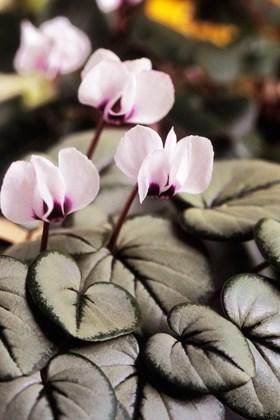Cyclamen coum Silver Leaf
