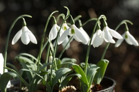 Galanthus Potters Prelude