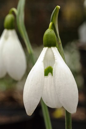 Galanthus Sutton Court