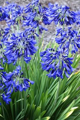 Agapanthus Flower of Love