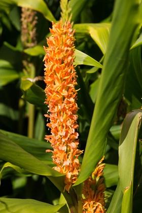 Hedychium densiflorum Assam Orange