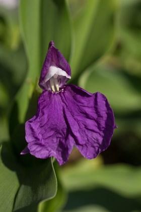 Roscoea auriculata Floriade