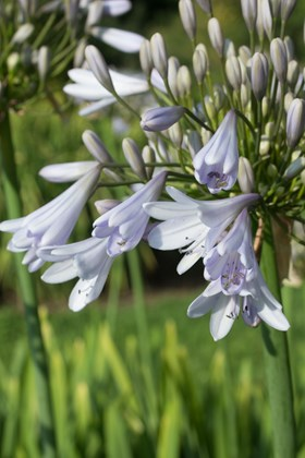 Agapanthus Shades of Grey