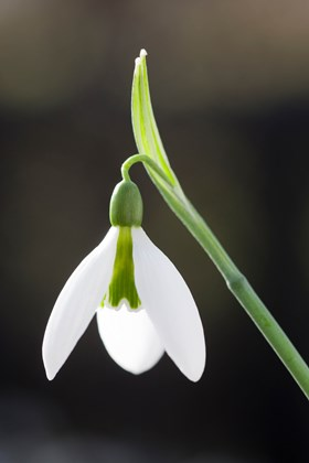 Galanthus Green Man