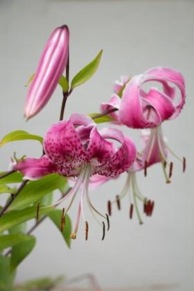 Lilium speciosum rubrum