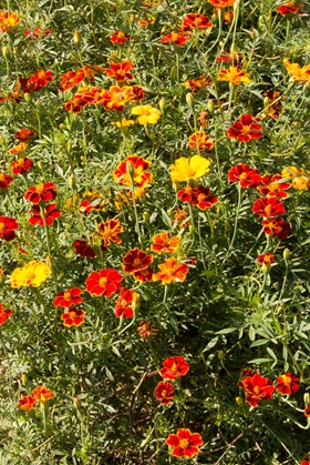 Tagetes patula (Seeds)