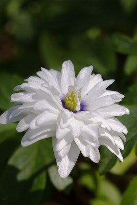 Anemone nemorosa Blue Eyed Double