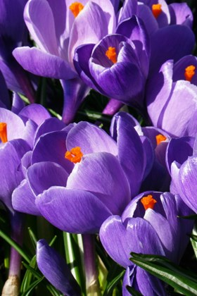 Crocus vernus Queen of the Blues