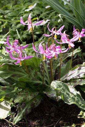 Erythronium revolutum Knightshayes Pink