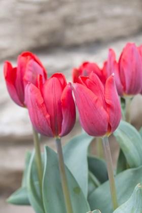 Tulipa Couleur Cardinal