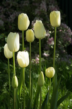 White Tulip Collection (4)
