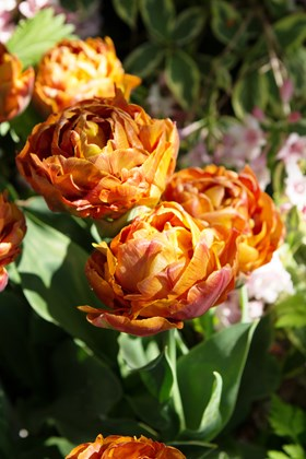 Tulipa Brownie