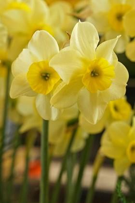 Narcissus Rikki