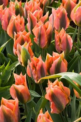 Tulipa Artist