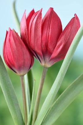 Tulipa humilis Lilliput
