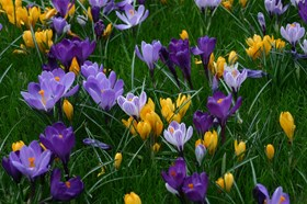 Crocus Collection (4)
