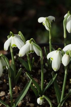 Galanthus Heloise des Essourts