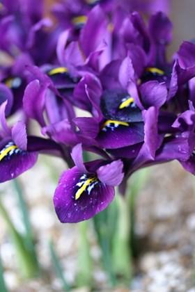 Iris reticulata Purple Hill