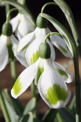 Galanthus Pieces of Eight