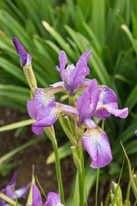 Iris sibirica Sparkling Rose