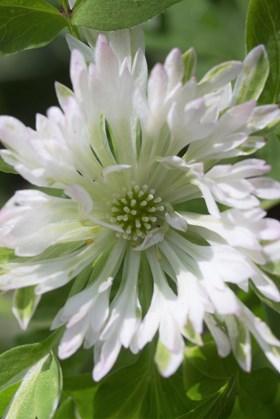 Anemone nemorosa Stammheim