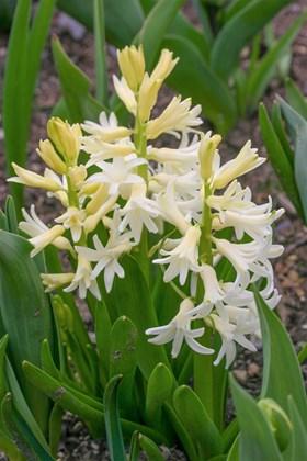 Hyacinthus multiflora (White)