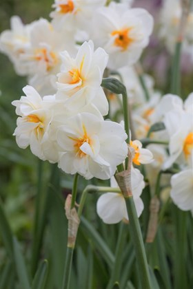 Narcissus Sir Winston Churchill (4)