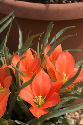 Tulipa batalinii Salmon Gem