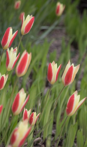 Tulipa clusiana Cynthia