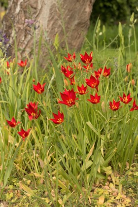 Tulipa sprengeri