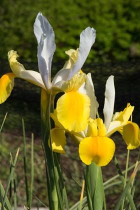 Iris x hollandica Apollo