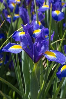 Iris x hollandica Blue Magic