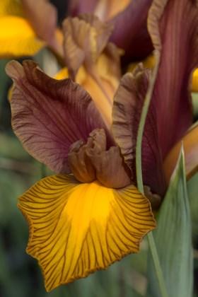Iris x hollandica Lion King