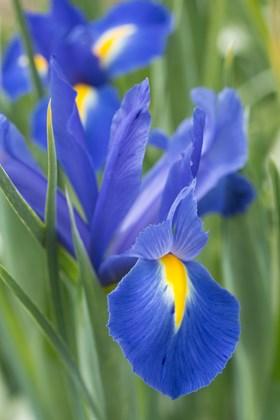 Iris x hollandica Professor Blaauw