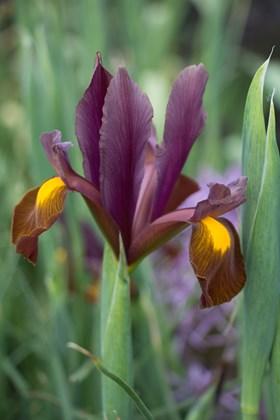 Iris x hollandica Red Ember