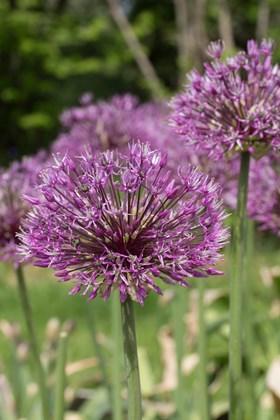 Allium Early Emperor